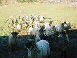 Rebaño de ovejas en las inmediaciones de casa rural Etxeberri, Goldaratz :: Agroturismo en Navarra
