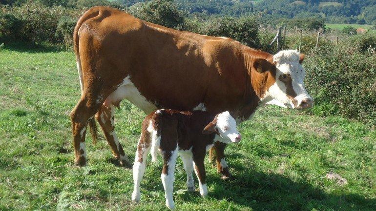 Vacas de casa rural Kastonea, Erratzu, Valle de Baztan :: Agroturismo en Navarra