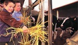 dando_de_comer_a_vacas