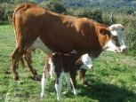 Vacas de casa rural Kastonea, Erratzu, valle de Baztan :: Agroturismos en Navarra
